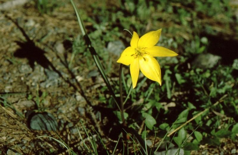 1984 Hautes-Alpes Montgenèvre Tulipa alpestris