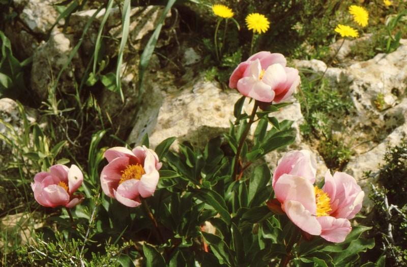 1984 Andalousie - Paeonia coriacea