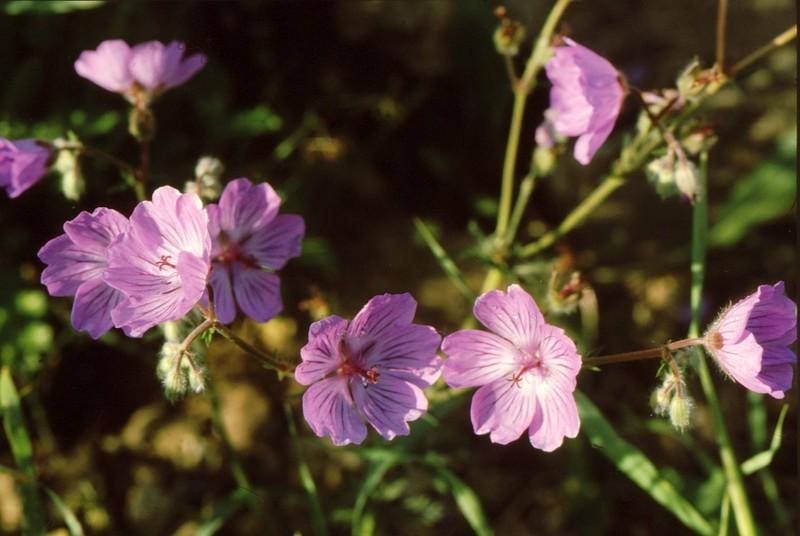 1984 Andalousie - Geranium malviflorum