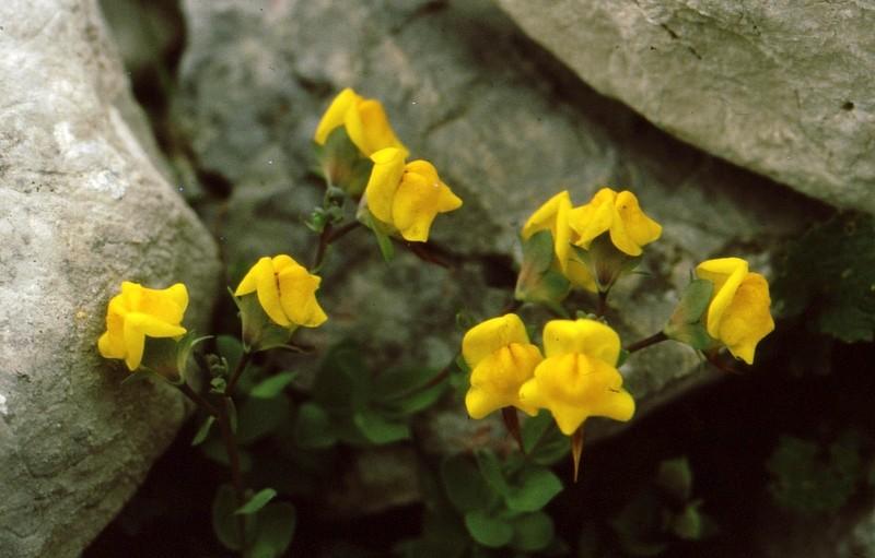 1984 Andalousie - Linaria platycalix