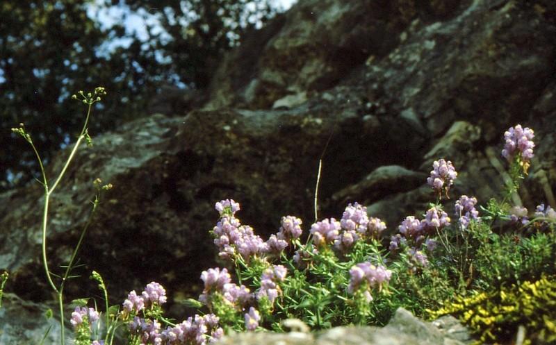 1984 Andalousie - Linaria tristis