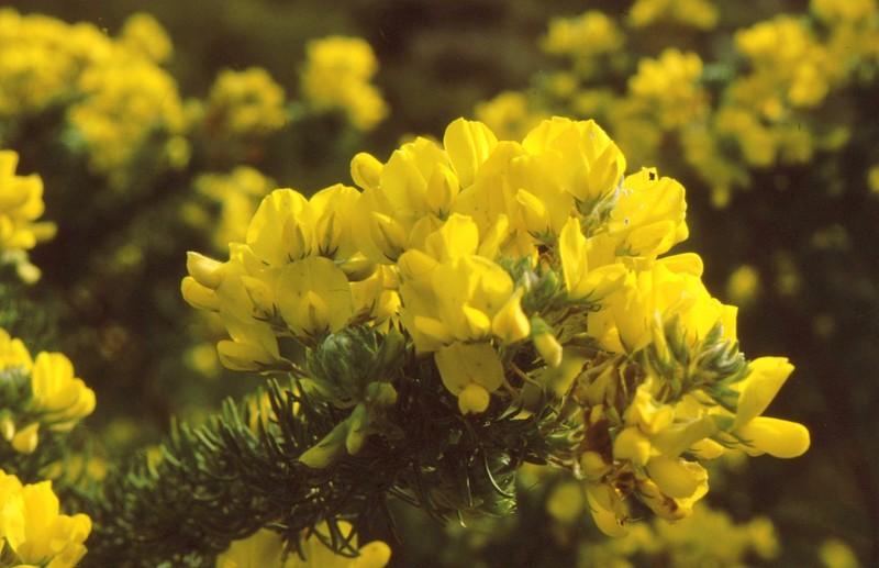 1984 Andalousie - Adenocarpus decorticans