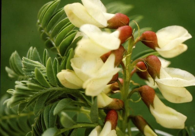 1984 Andalousie - Astragalus lusitanicus