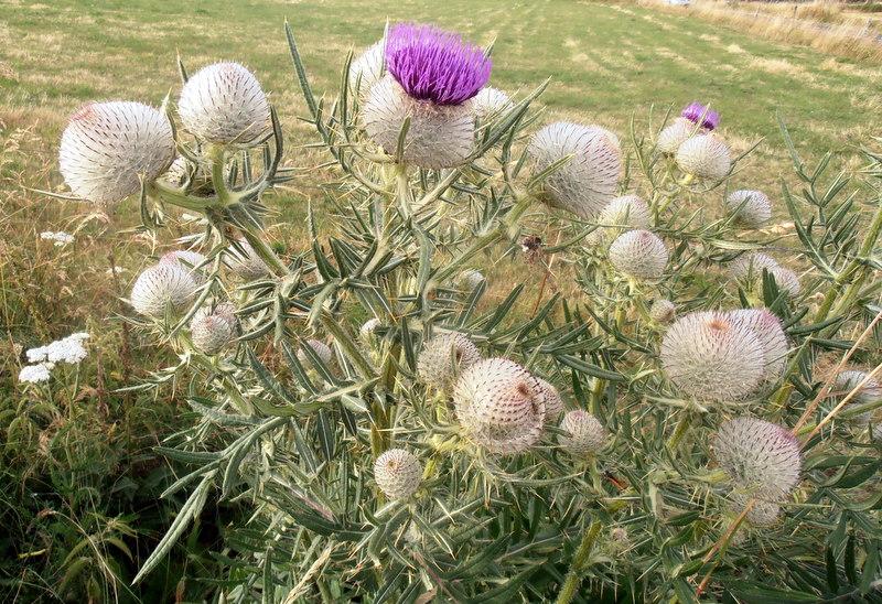 1985 Ardèche Cirsium eriophorum