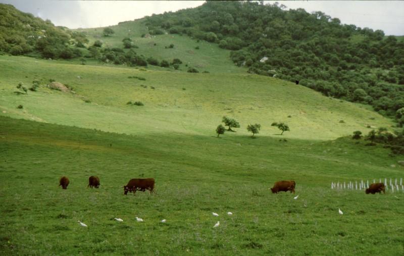 1984 Andalousie - Pique-boeufs