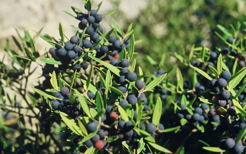 1984-Ardèche : Phillyrea angustifolia