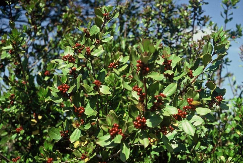 1985 Ardèche Rhamnus alaternus