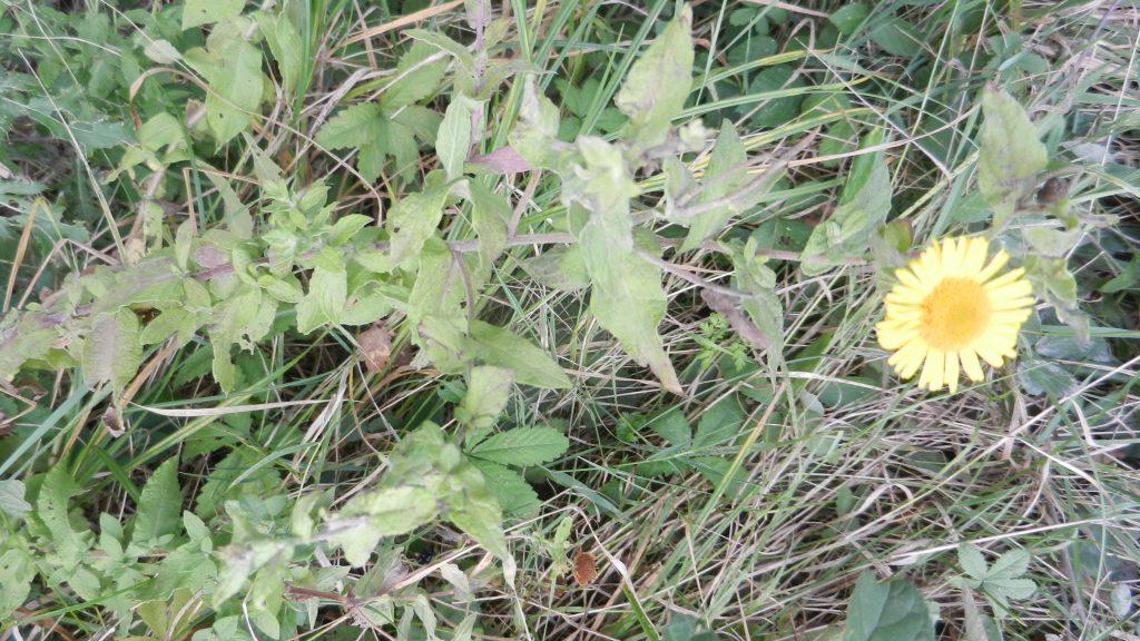 Helminthotheca echioides