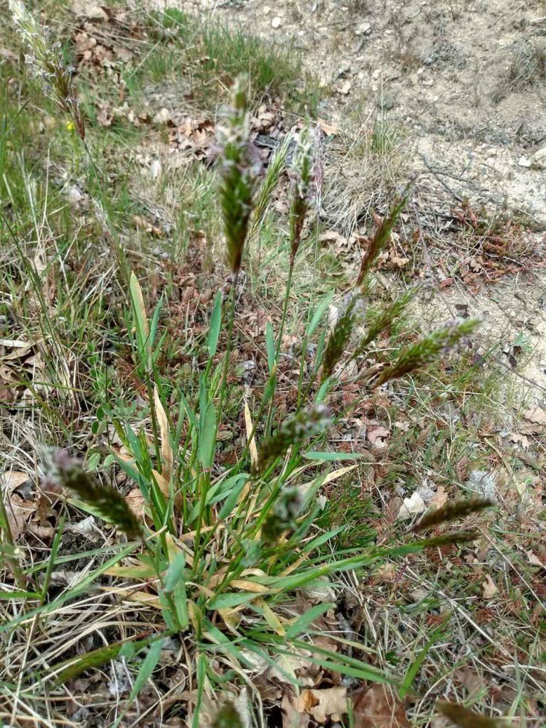Anthoxantum odoratum L.