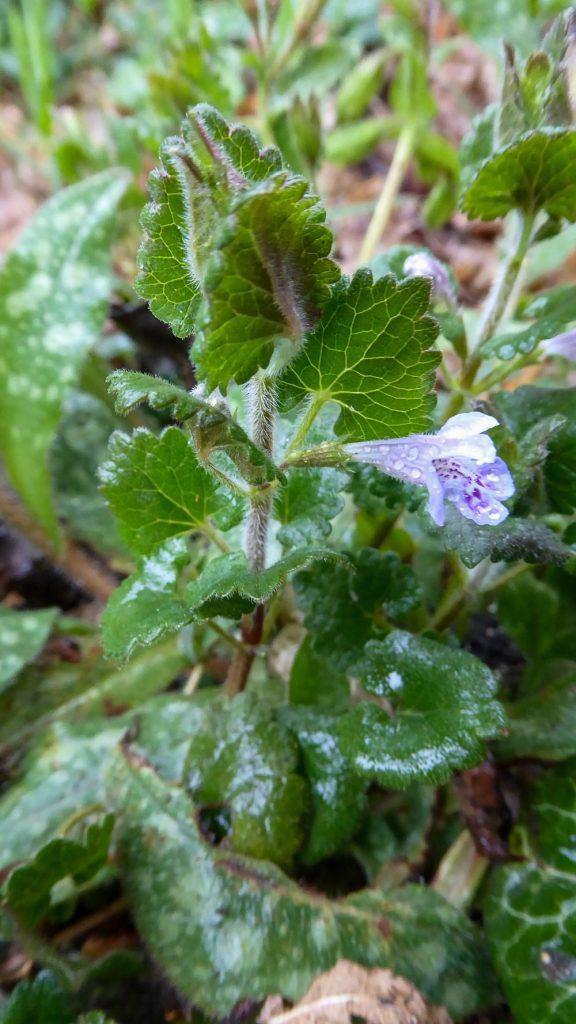 Glechoma hederacea L
