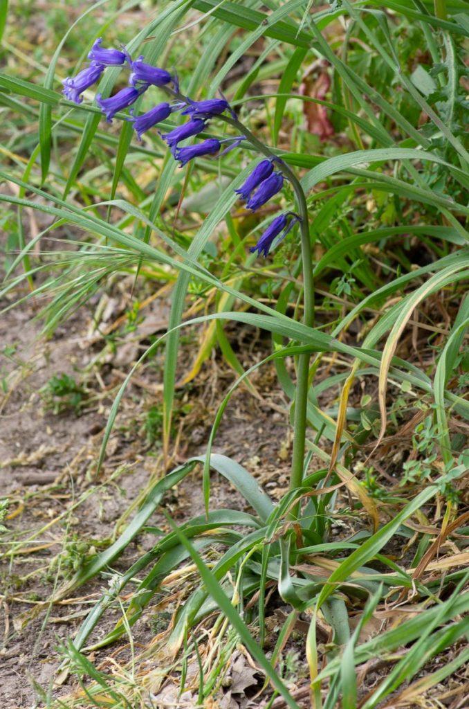 Hyacinthoides non-scripta (L.) Chouard ex Rothm