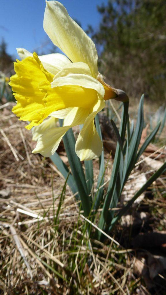 Narcissus pseudonarcissus subsp. pseudonarcissus ou Jonquille ou encore Narcisse jaune