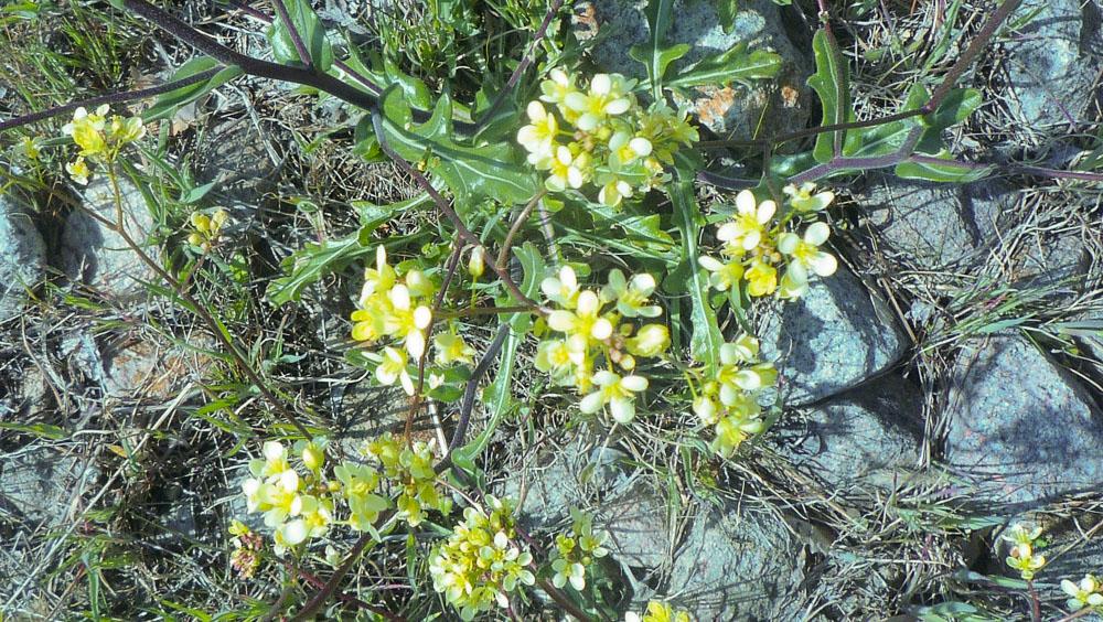 Biscutella sp.
