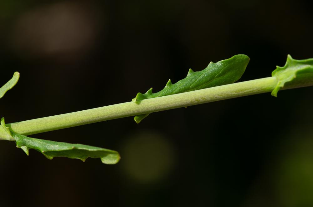 Thlaspi alliaceum L.